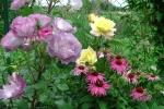 echinacea, розы