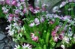 Erica verticillata