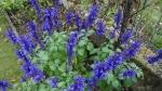 Salvia 'Mystic Spires'