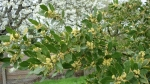 Лавровое дерево зацвело