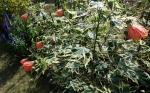Abutilon variegatum Savitzii,