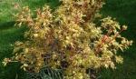 Acer japonicum sango kaku.
