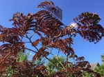 Albizia julibrissin ' Summer Chocolate '