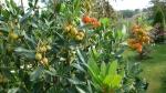 Arbutus unedo (Земляничное дерево)