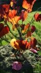Cercis canadensis 'Forest Pansy' в конце октября