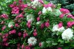 Clematis :: Clématite 'Arctic Queen', роза Mrs. F.W. Flight,