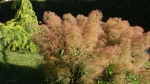 Cotinus coggygria 'Young Lady'.