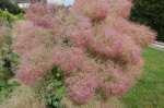 Cotinus coggygria 'Young Lady' после дождя.