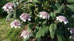 Hydrangea aspera 'Macrophylla'.