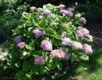 Hydrangea macrophylla 'Snell'