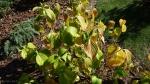 Hydrangea macrophylla 'Snell' осенью
