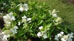 Hydrangea paniculata Levana 'Cov'
