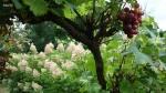 Hydrangea paniculata Phantom и виноград Cardinal