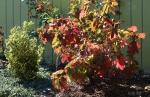 Hydrangea quercifolia, euonymus japonicus