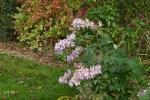 Lonicera japonica Mint Crisp,viburnum, delphinium Astolat