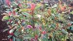 photinia Pink Marbre