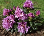 Rhododendron 'Cabaret'