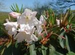 Rhododendron Loderi 'King George', 18 апреля.