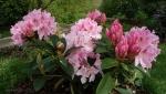 Rhododendron x 'Albert Schweitzer'
