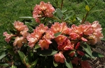 Rhododendron x 'Olga'