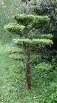 Topiary :: 10 лет формировки, клен полевой, 1.70cм