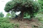 Topiary :: Обрезка сосны
