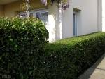 Topiary :: Изгородь из бирючины