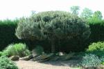 Topiary :: Стрижка сосны в мае