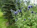 Topiary :: Садовый бонсай из клена, 6 год формировки.