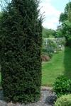 Topiary :: Тисс ягодный в мае