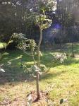 Topiary :: Клен на третий год формировки