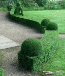 Topiary :: Бордюр из lonicera nitida
