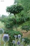 Topiary :: cадовый бонсай, 2010 (клён полевой)