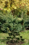 Topiary :: Chamaecyparis obtusa Nana Gracilis   - ниваки