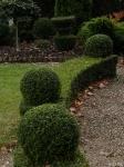 Topiary :: Lonicera nitida