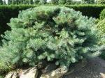 Topiary :: Pinus
