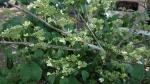 Viburnum plicatum ' Mariesii'