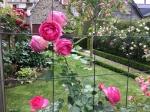 Сентябрьские розы.