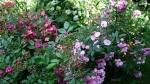 Мускусные розы готовятся к цветению