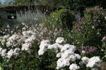 третья волна цветения у флорибунд Aspirin.