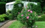 Зацветает роза