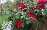 розы Munstead Wood.