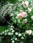 Розы Paul's Himalayan Musk, Martine Guillot, White Meidiland