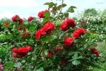 Роза Tchin tchin