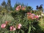 Nerium oleander,