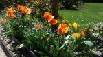 Tulipe Apeldoorn Elite, Sensual Touch